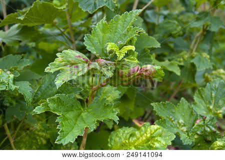 Ill Leaves Of Red Currant Infected By Gallic Aphids