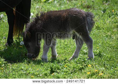 Adorable Shaggy Black Miniature Horse Colt In A Big Field.