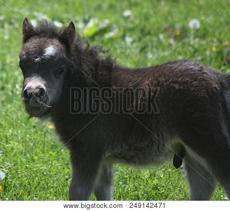 Really Cute Fluffy And Shaggy Black Miniature Horse Colt In A Field.