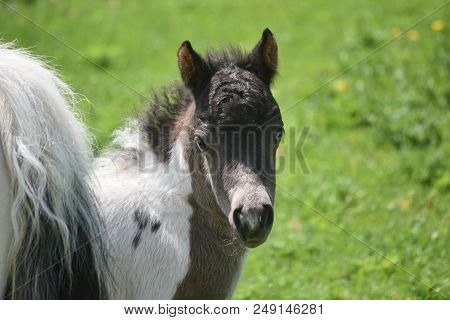 Gorgeous Face Of A Miniature Horse Up Close And Personal.