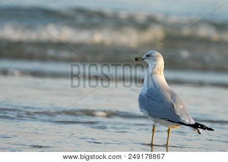 A Ring-billed Gull Enjoying An Afternoon At The Beack On Padre Island National Seashore.