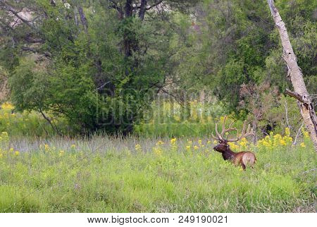 Wild Elk Roaming Freely In The Wild