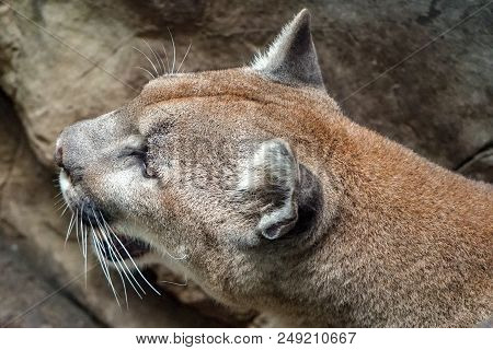 Close-up Portrait Of A Female Puma, Also Known As A Mountain Lion Or Cougar With Mouth Open