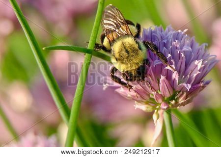Lovely Bumblebee On Flower In Garden Background Abstract