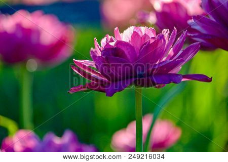 Beautiful Magenta Pink Fuchsia Tulips In A Garden In Springtime