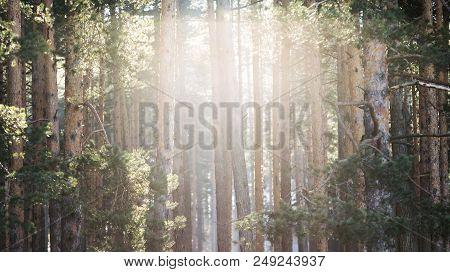 Sunlight Through Conifer Wood Trees. Wood Tree Sunlight