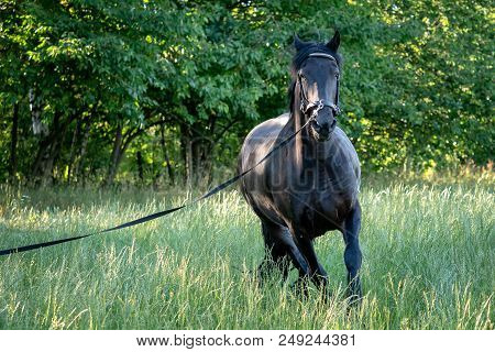 Black Friesian Horse Runs Gallop In Grass. Friesian Horse Running On Halter.  Rare Breed Of Horses