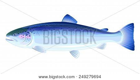 One Atlantic Salmon Fish From One Side, High Quality Illustration Of Sea Fish, Eps10 With Transparen