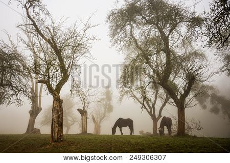 Two Horses Grazing In A Foggy Orchard Of Apple Trees