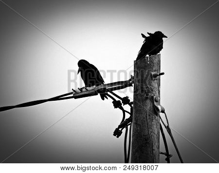Crows Sitting On Electricity Pole And Wires - Black And White Photo.