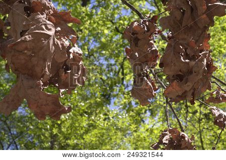 Bunches Of Brown Oak Leaves On Dry Branch. Verdant Foliage In Blurred Background