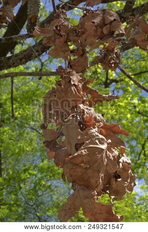 Long Dry Branch, Hanging From The Oak Against Blue Sky And Fresh Foliage In Background. Close-up