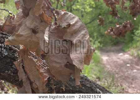 Bunch Of Large Faded Oak Leaves And Trunk With Cobweb