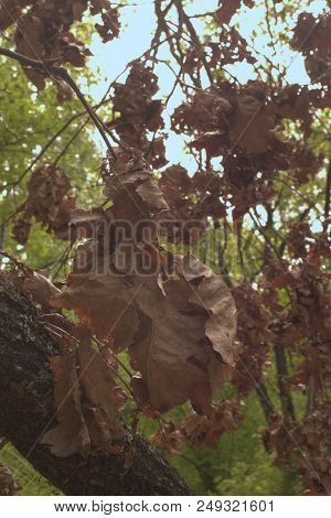 Oak Twig With Big Cluster Of Lush Dry Foliage At Picturesque Trunk. Particle Of Autumn Is Adjacent T