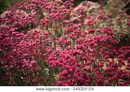 Pink Wild Flowers Blooming On A Hillside In Northern California