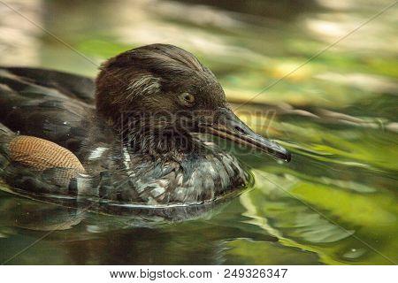 Hooded Merganser Mergus Cucullatus Duck