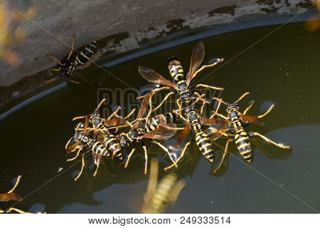 Wasps Polistes Drink Water. Wasps Drink Water From The Pan, Float On The Surface Of The Water, Flyin