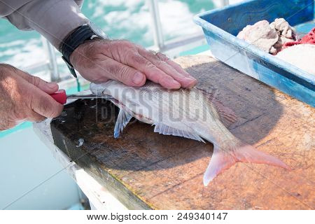 Close Up Of Male Hand Filleting A Snapper Fish On A Fishing Charter Boat In Far North, Northland, Ne