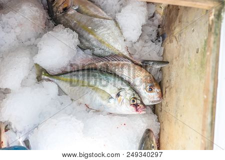 Trevally And Snapper Fish - Freshly Caught On Ice On Charter Fishing Boat In Far North, Northland, N