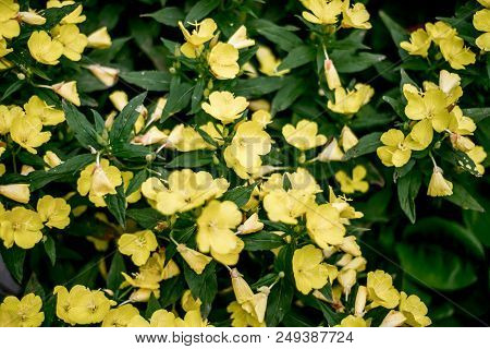 yellow flowers are suitable for the background poster