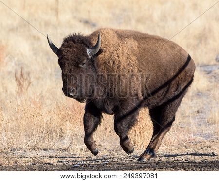 American Bison Living On The High Plains Of Colorado