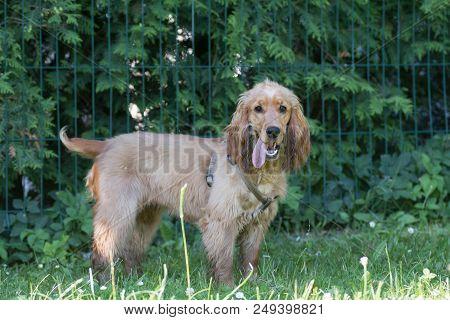 American Cocker Spaniel Puppy Outdoor