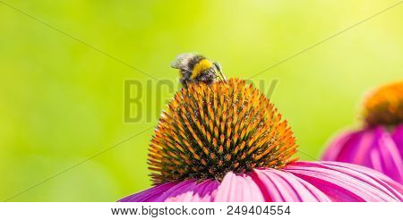 Close-up Of A Small Bmblebee On A Beautiful Purple Coneflower (echinacea ) In Summer. Garden Coneflo