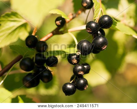 Fresh Black Currant Berries On A Twig