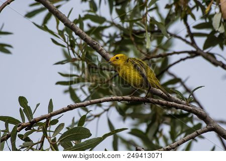 Yellow And Orange Finch With Black Head Keeping A Watch On His Suroundings While Holding Firmly To B