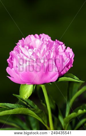 Blossoming Red Peony Flower On A Green Background Close-up