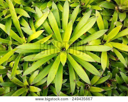 Plant Nursery Of Green Plant Aechmea Fasciata Inflorescence Bromeliad Or Urn Plant.