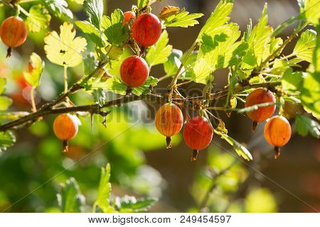 Gooseberry. Fresh And Ripe Organic Gooseberries On A Branch
