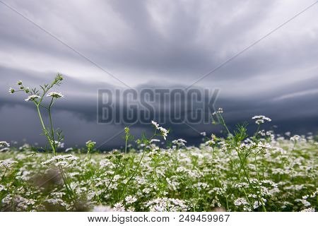Field Of White Flowers With Storm Clouds Above In Horizontal Position. Storm Clouds Overhead