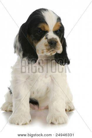 cute puppy - american cocker spaniel puppy sitting with reflection on white background - 7 weeks old poster