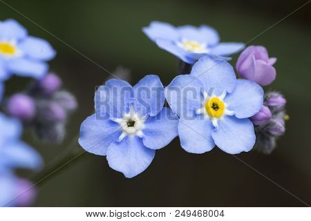 Close-up Of Blue Forget-me-not (myosotis) Blossoms. Macro Shot Of Forget-me-not.
