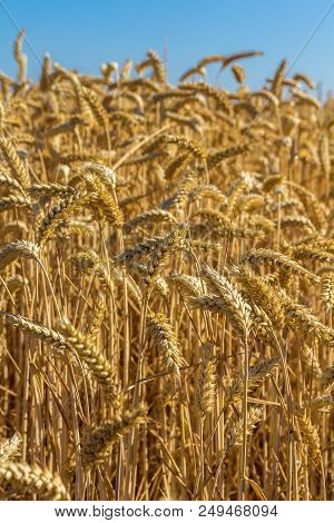 Golden Wheat Closeup With Atural Blue Sky Background
