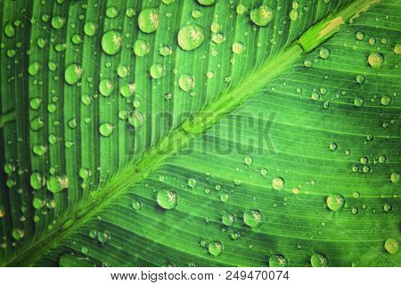 Rain Water Droplets On Green Leaf Macro Which It Occur After Raining. Drops Of Dew In The Morning Gl