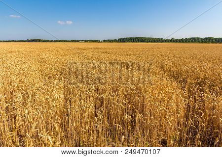 Vast Field Of Golden Wheat In The Dutch Countryside