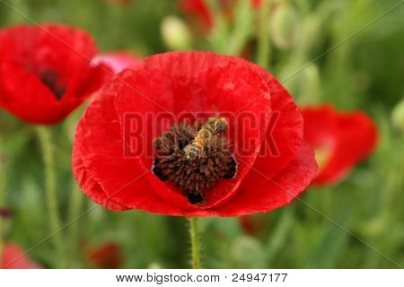 bee on poppy flower