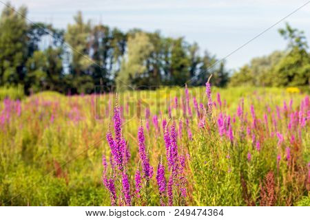 Exuberant Flowering Purple Loosestrife And Other Wildflowers In The Foreground Of A Nature Reserve W