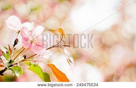 Beautiful Cherry Blossom Springtime Sunny Day Garden Landscape. Blossoming Pink Petals Fruit Tree Br