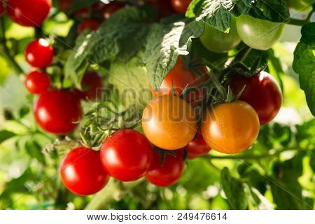 Vegetable Garden With Plants Of Red Tomatoes. Growing Tomatoes On A Domestic Garden.