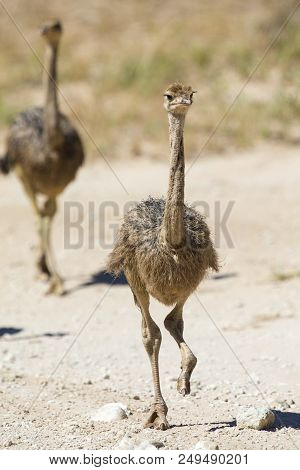 Family Of Ostrich Chicks Running After Their Parents In The Dry Kalahari Sun