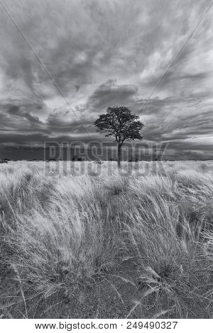 Landscape Of A Lone Tree On A Grass Plain With Storm Clouds Approaching In The Kalahari Artistic Con