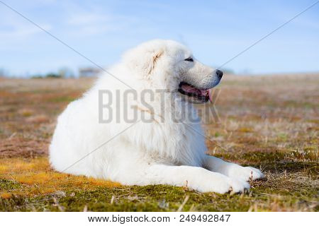 Portrait Of Beautiful Maremma Sheepdog. Big White Fluffy Dog Lying On Moss In The Field On A Sunny D