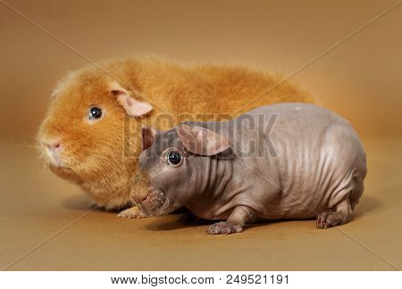 Guinean Pig And Skinny In The Studio
