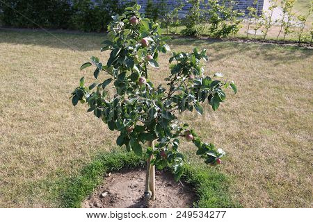 Dwarf Apple Tree, Apple Tree. Apple Tree With Red Apples.
