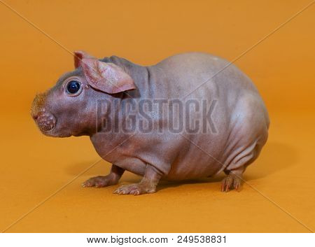 Skinny Guinean Pig In The Studio With Yellow Background