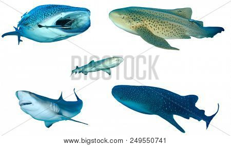 Collection Shark species isolated. Whale Shark, Leopard, Whitetip Reef and Grey Reef Sharks on white background.