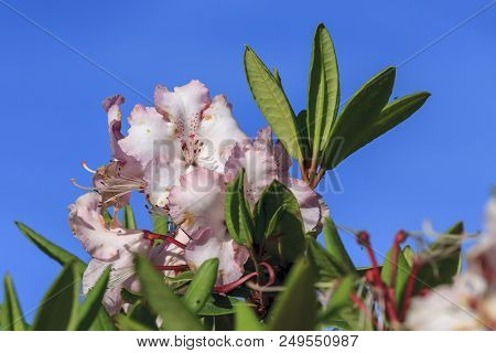 Pink Rhododendrons, Rhododendron Ferrugineum, Against A Bright Blue Sky In Oregon.